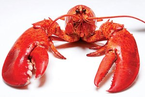 lobster_560x375
